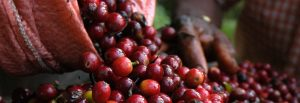 Charleston Coffee Roasters - From the Bean to Your Cup