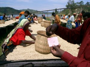Charleston Coffee Roasters Organic Rwandan Roast - Drying Coffee Beans
